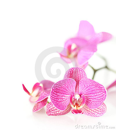 Free Pink Orchid Royalty Free Stock Images - 8818569