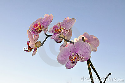 Pink Orchid and blue sky