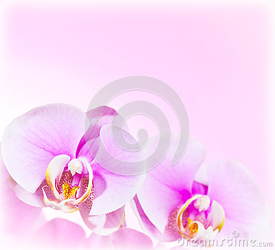 Free Pink Orchid Flower Border Royalty Free Stock Photo - 26538385