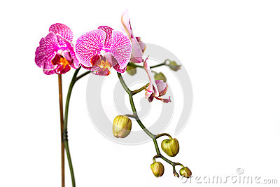 Pink orchid flower isolated on white
