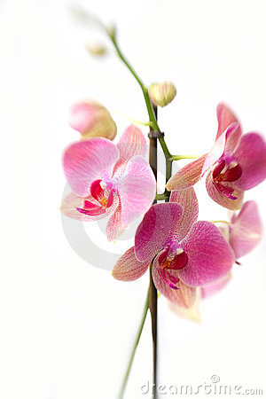 Pink orchid flowers in bloom
