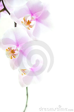 Free Pink Orchid Flowers Isolated On White Stock Photography - 19631702