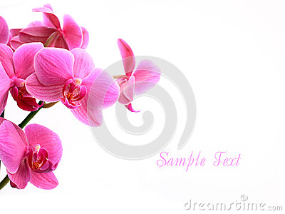 Pink orchid flowers over white with copyspace