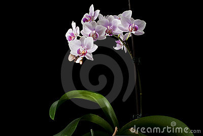 Pink orchid isolated on black
