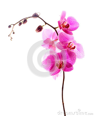 Pink orchid isolated white