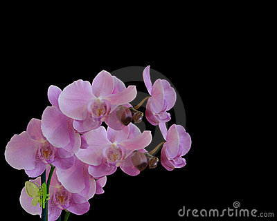 Pink Orchids isolated on black