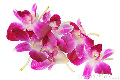 Pink orchis