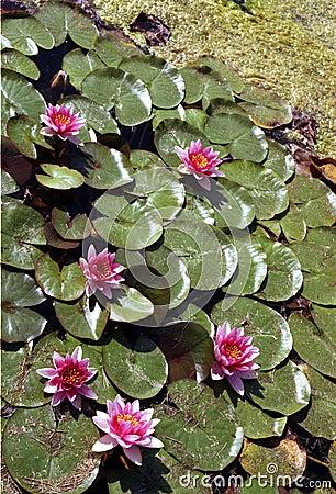 Pink Padded Pond