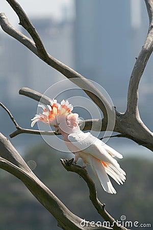 Pink parrot