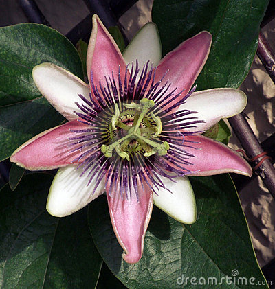Free Pink Passion Flower Royalty Free Stock Photography - 3026147