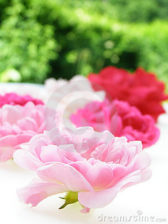 Pink pastel rose