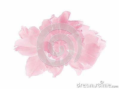 Pink pastel tulip