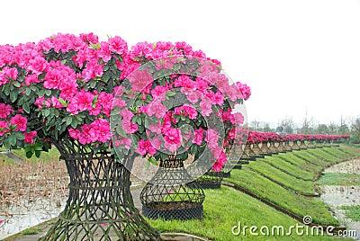 Pink peach azalea blooms