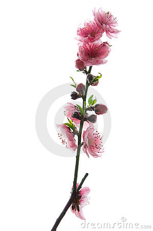 Free Pink Peach Blossom Royalty Free Stock Image - 18919246