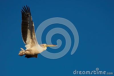 Pink Pelican in flight