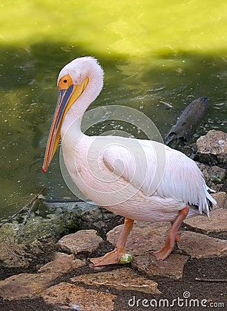 Pink pelican at zoo