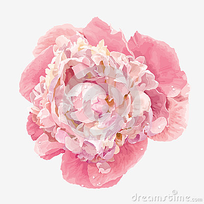 Free Pink Peony Flower Royalty Free Stock Photography - 30832827