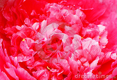 The pink peony flower