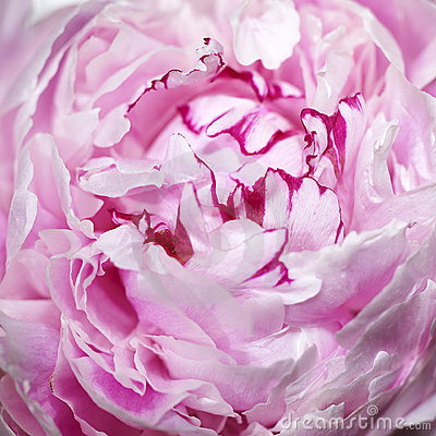 Pink peony flower (macro)