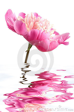 Pink peony flower reflecting in water isolated