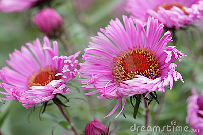 Pink perennial aster