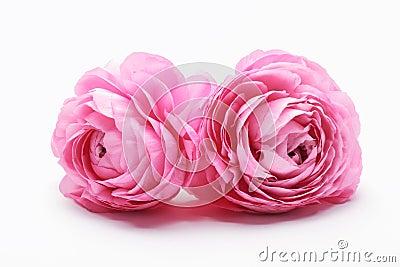 Pink Persian Buttercup Flower