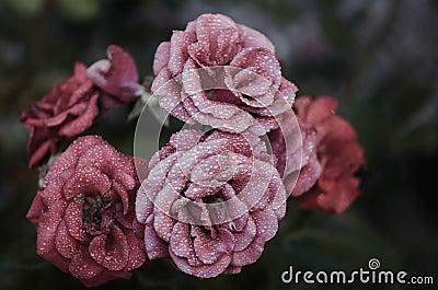 Pink Petaled Flowers Close Up Photography Free Public Domain Cc0 Image