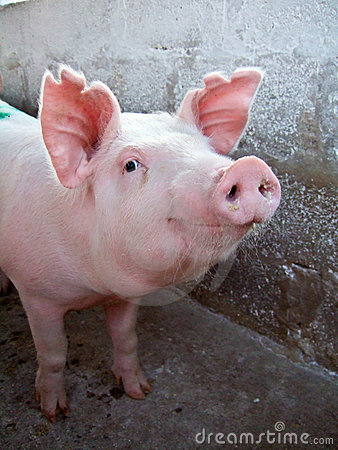 Free Pink Pig Stock Images - 11418644