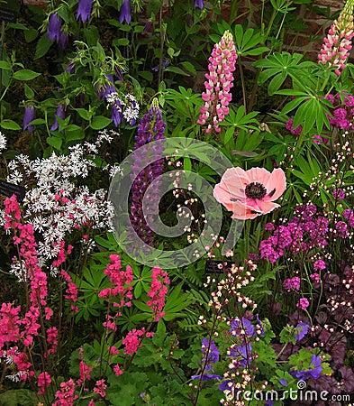 Pink Poppy In Garden