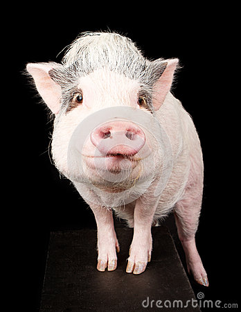 Free Pink Pot-Bellied Pig Royalty Free Stock Photos - 29172888