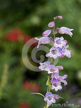 Free Pink, Purple And White Penstemon Flower Detail In Garden Royalty Free Stock Photo - 58722305