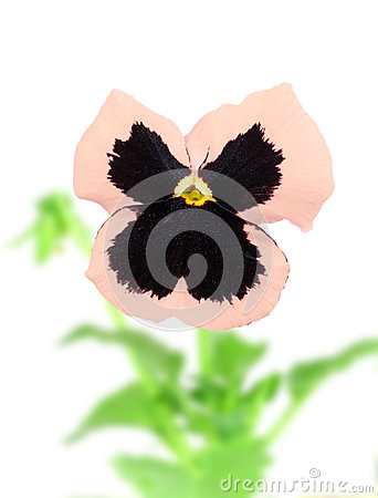 Pink-purple pansy flower