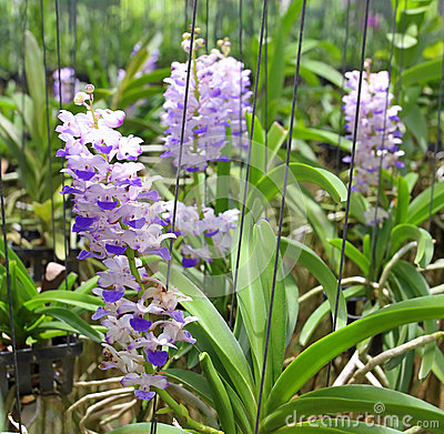 Pink or purple Rhynchostylis Gigantea