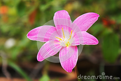 Pink rain lily flower (zephyranthes flower)