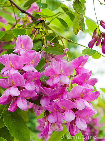 Pink Robinia flowers