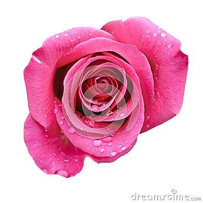 Free Pink Rose Stock Image - 10549571