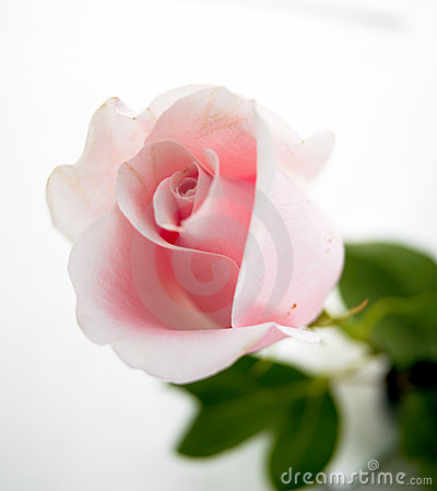 Free Pink Rose Stock Image - 1262991