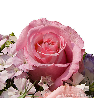 Free Pink Rose Royalty Free Stock Image - 13504196