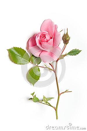 Free Pink Rose Stock Image - 15008191