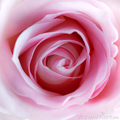 Free Pink Rose Stock Images - 19177994