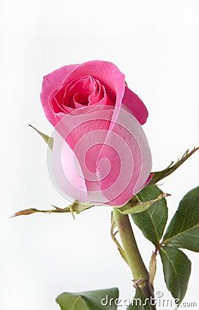 Free Pink Rose Stock Images - 22391554