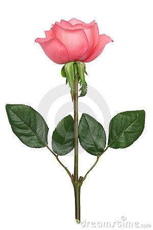 Free Pink Rose Stock Photography - 5349322
