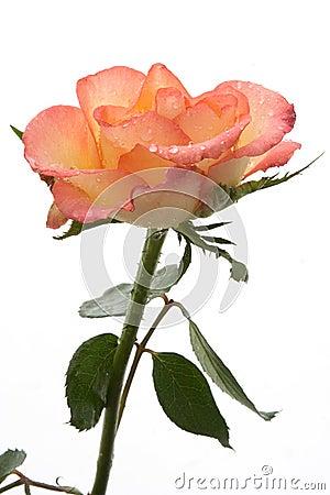 Free Pink Rose Stock Image - 709491