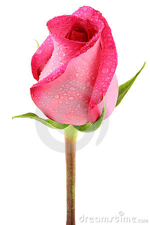 Free Pink Rose Stock Photography - 7644652