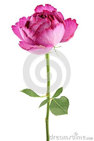 Free Pink Rose Royalty Free Stock Photos - 7753838