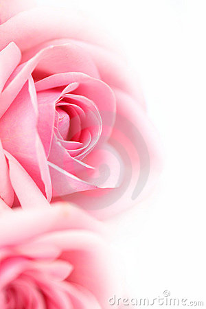 Free Pink Rose Stock Photos - 8791403