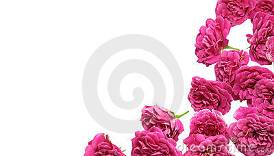 Pink rose background for valentines card