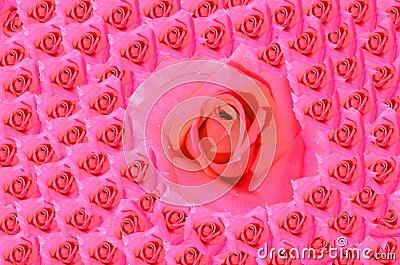 Pink Rose Blooming