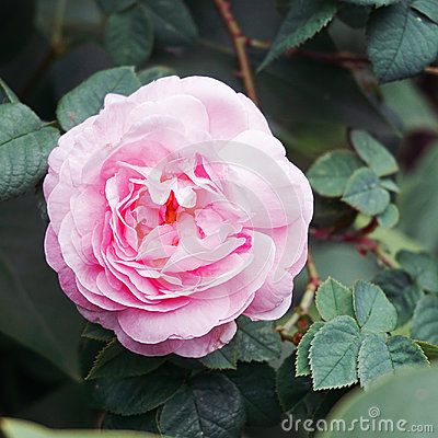 Free Pink Rose Blooming In Garden Royalty Free Stock Photo - 95005635