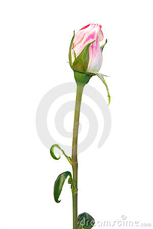 Pink rose bud